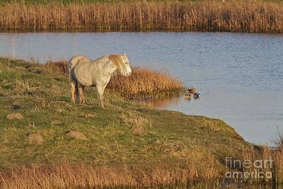 Art Print featuring the photograph Welsh Pony  by Gary Bridger