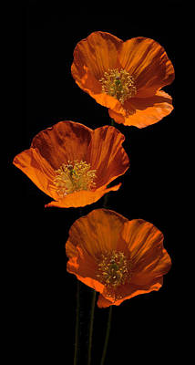 Photograph - Welsh Poppies by Andrew Munro
