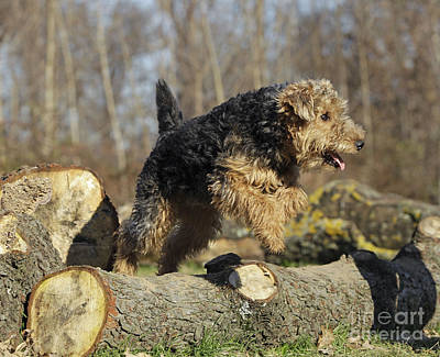 Welsh Terrier Jumping Art Print by Jean-Michel Labat