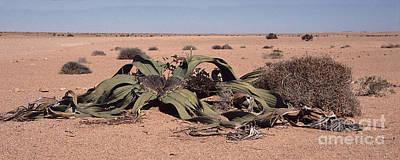 Plants Photograph - Welwitschia Mirabilis by Liz Leyden