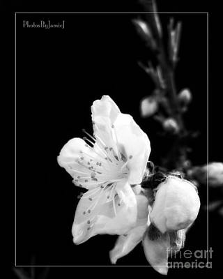 Photograph - Wenatchee Blossom by Jamie Johnson