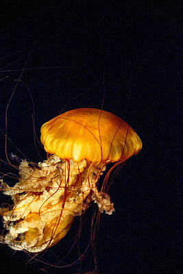 West Coast Sea Nettle 11 Art Print