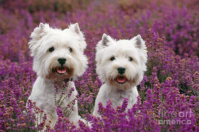 Photograph - West Highland Terrier Dogs In Heather by John Daniels