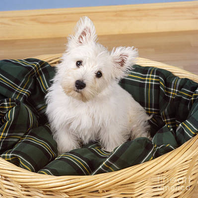 Baby In Basket Photograph - West Highland White Terrier Puppy by John Daniels