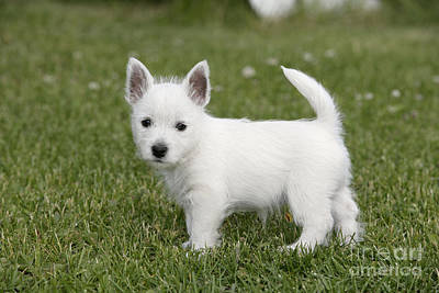 Westie Pup Photograph - West Highland White Terrier Puppy by Rolf Kopfle