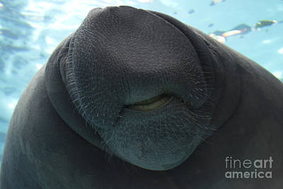 Photograph - West Indian Manatee Smile by Meg Rousher
