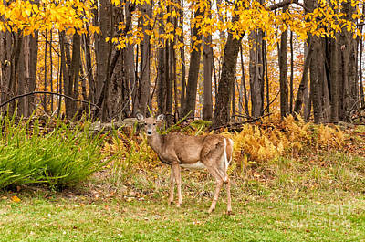 Photograph - West Virginia Doe by Kathleen K Parker