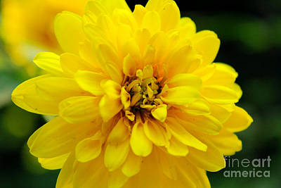 West Virginia Marigold Art Print