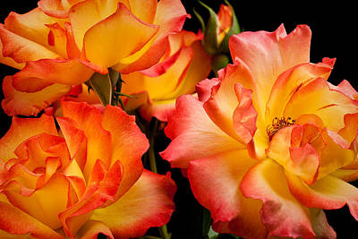 Photograph - Westerland Roses Afire by  Onyonet  Photo Studios