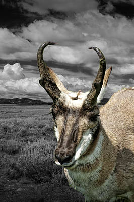 Photograph - Western Antelope Pronghorn by Randall Nyhof