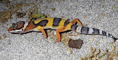 Lincolnshire Photograph - Western Banded Gecko by Nigel Downer