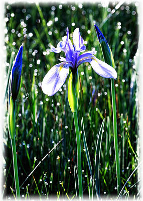 Painting - Western Blue Flag Iris by OLena Art Brand