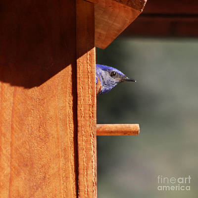 Print featuring the photograph Western Bluebird At Nest by Bob and Jan Shriner