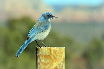 Photograph - Western Bluebird by Nadalyn Larsen