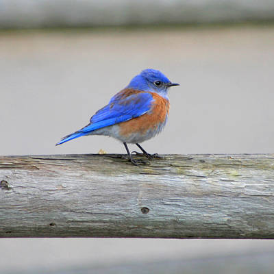 Print featuring the photograph Western Bluebird Perching by Bob and Jan Shriner