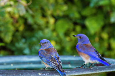 Bird Bath Photograph - Western Bluebird (sialia Mexicana by Michael Qualls
