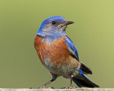 Photograph - Western Bluebird by Steve Kaye