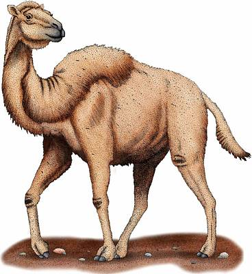 Photograph - Western Camel by Roger Hall
