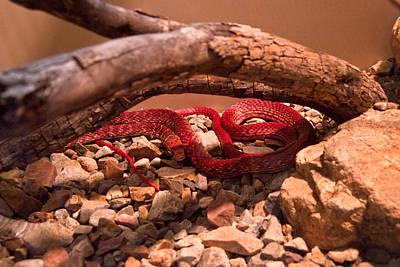 Photograph - Western Coachwhip Red Phase by Douglas Barnett