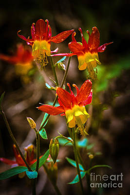 Photograph - Western Columbine by Robert Bales