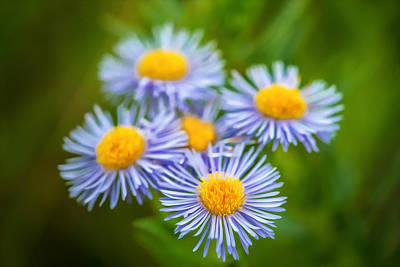 Photograph - Western Daisies Asters Glacier National Park Painted by Rich Franco