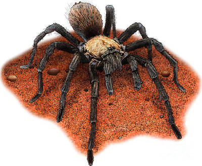 Photograph - Illustration Of Western Desert Tarantula  by Roger Hall
