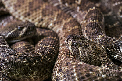 Photograph - Western Diamondback Rattlesnake 2 by Arterra Picture Library