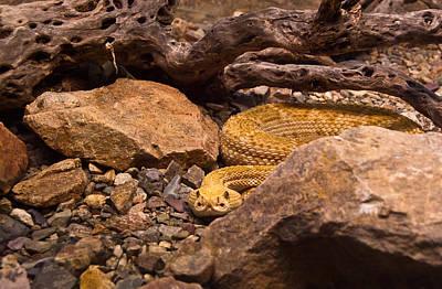 Photograph - Western Diamondback Rattlesnake 2 by Douglas Barnett