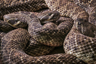 Photograph - Western Diamondback Rattlesnake 3 by Arterra Picture Library