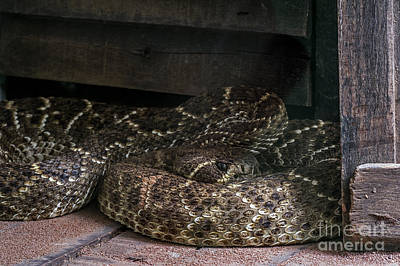 Photograph - Western Diamondback Rattlesnake 4 by Arterra Picture Library