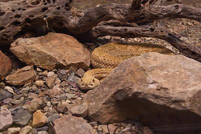 Photograph - Western Diamondback Rattlesnake by Douglas Barnett