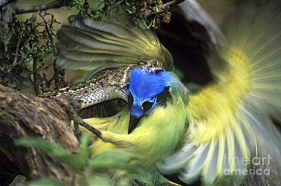 Photograph - Western Diamondback Rattlesnake Striking Green Jay by Dave Welling
