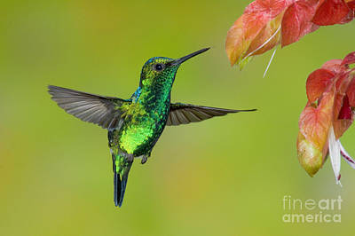 Photograph - Western Emerald Hummingbird by Anthony Mercieca