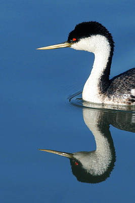 Photograph - Western Grebe by Robert Woodward