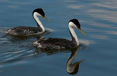 Photograph - Western Grebe With Reflection by Cascade Colors