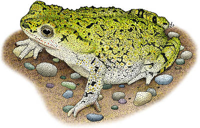 Photograph - Western Green Toad by Roger Hall