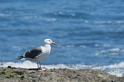 Photograph - Western Gull by Dan Suzio