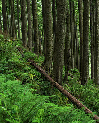 State Parks In Oregon Photograph - Western Hemlock Trees Grow In Oswald by Robert L. Potts
