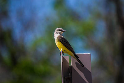 Photograph - Western Kingbird by Nathan Hillis