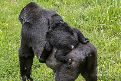 Photograph - Western Lowland Gorilla 1 by Arterra Picture Library