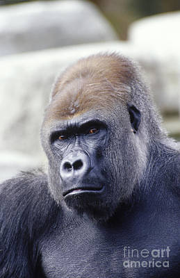 Gorilla Photograph - Western Lowland Gorilla by Gregory G. Dimijian