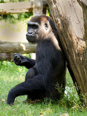 Photograph - Western Lowland Gorilla by Leah Palmer
