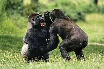 Gorilla Photograph - Western Lowland Gorilla Males Fighting by Konrad Wothe