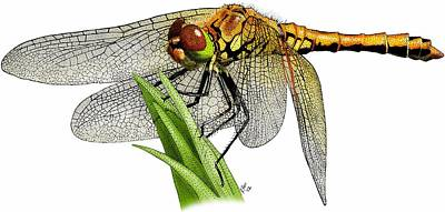 Western Meadowhawk Dragonfly Art Print by Roger Hall