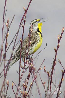 Photograph - Western Meadowlark by Frank Townsley