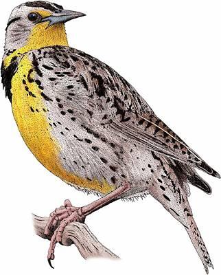 Meadowlark Wall Art - Photograph - Western Meadowlark by Roger Hall