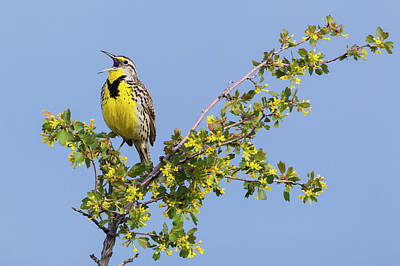 Meadowlark Wall Art - Photograph - Western Meadowlark Singing by Ken Archer