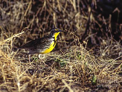 Photograph - Western Meadowlark by Steven Ralser