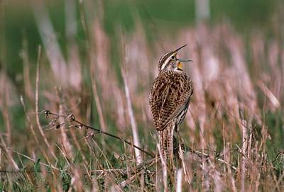 Meadowlark Wall Art - Photograph - Western Meadowlark (sturnella Neglecta) Singing by William Ervin/science Photo Library