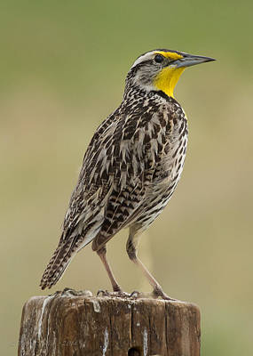 Photograph - Western Meadowlark by Victoria Porter